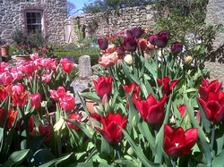 Spring tulips at Monks