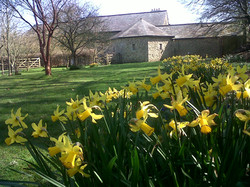 Daffodils at Monks Withecombe