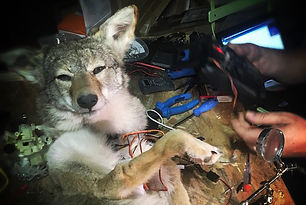 Coyote couleur.JPG