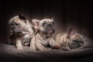 Frenchy Puppies - Pets.Webin.jpg