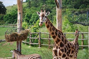 giraffe-826458_960_720.jpg