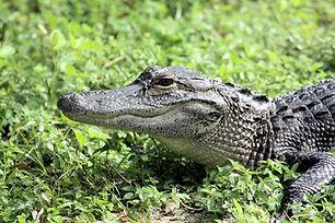 alligator-3565575_960_720.jpg