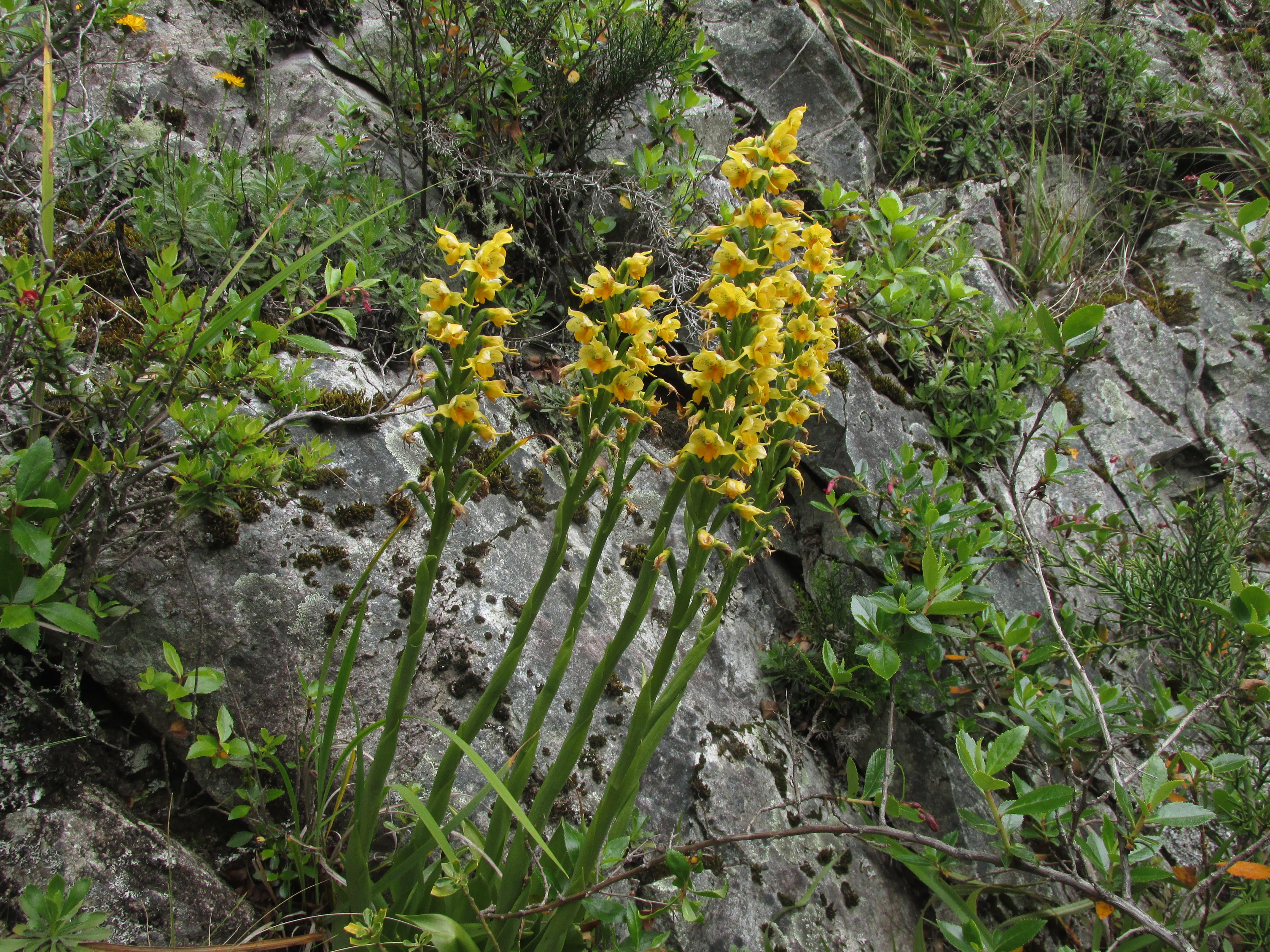 Orquídeas nativas (Gavilea sp)