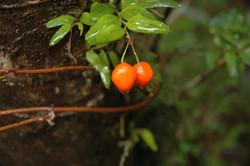 Quilaneja (Luzuriaga radicans)