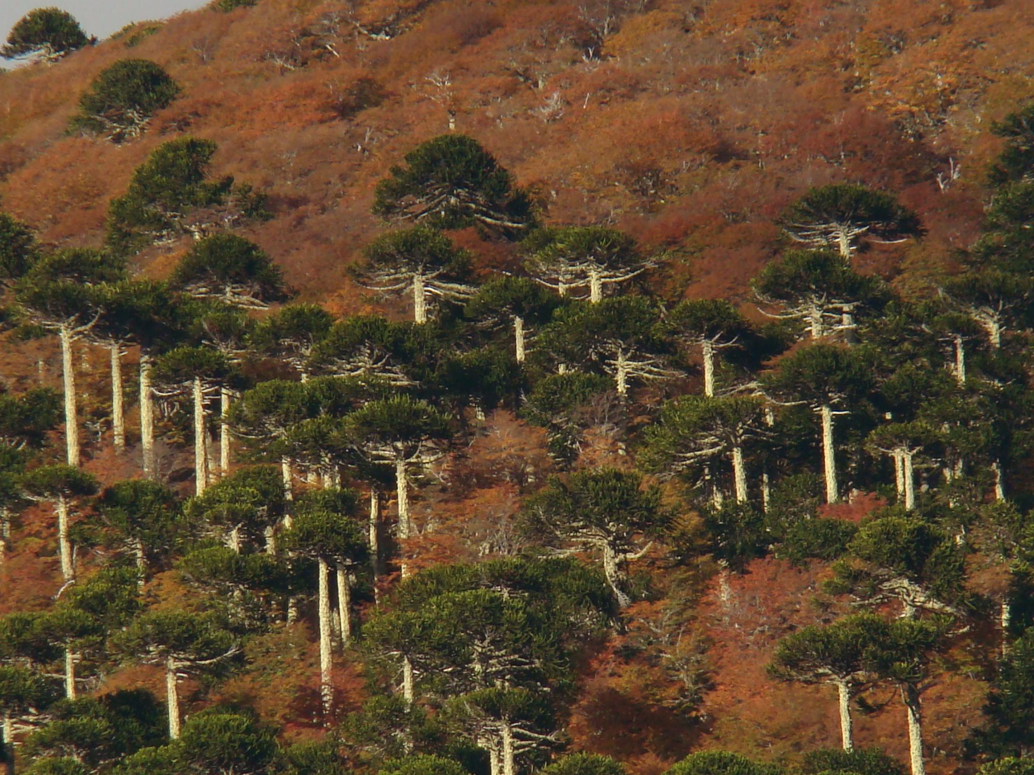 Paisajes de Araucarias y Lengas
