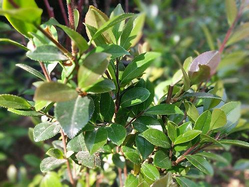 Camellia sasanqua autumn white