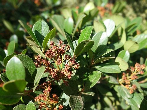 Raphiolepis indica