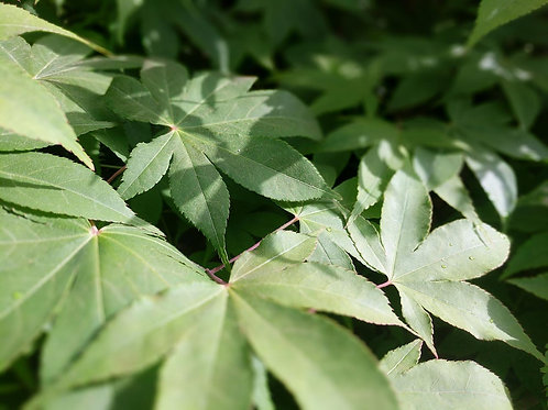 Acer palmatum ass.