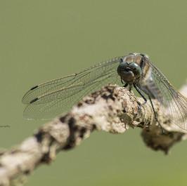 Les yeux dans les yeux (libellule_déprimée_mâle).