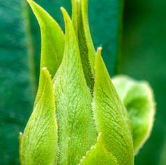 Bouton de Rhododendron 2