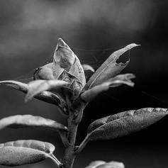 Bouton de Rhododendron 3