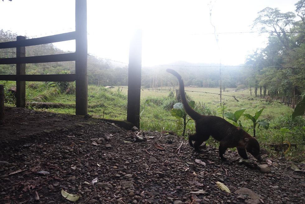 A coatimundi walking next to a jungle trail