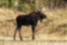 An adult male moose in the wilderness