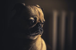 sad pug dog separation anxiety