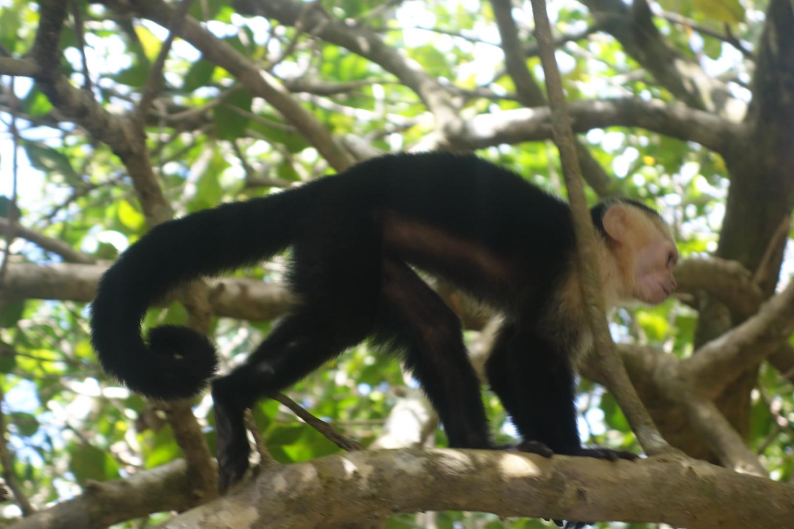 Costa Rica Manuel Antonio capuchin monkey