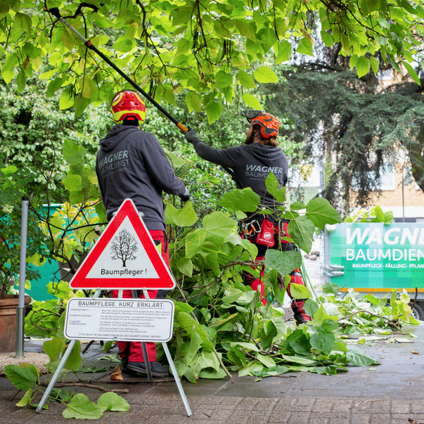 Baumpflege Stadtgarten Köln