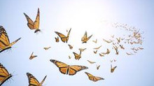 Butterflies in formation