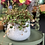 Thumbnail: Peperomia Pepperspot - Hanging pot