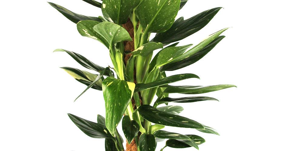 Monstera standleyana variegated UK The Ginger Jungle the indoor houseplant shop