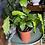 Calathea musaica UK The Ginger Jungle pet safe houseplant uk