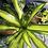 Thumbnail: Dracaena 'charley'