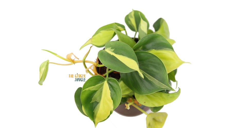 Philodendron scandens brasil UK Easy in door plant best air purifying