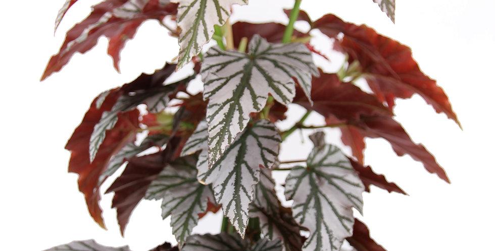 Begonia 'Highway' UK The Ginger Jungle the online houseplant shop UK