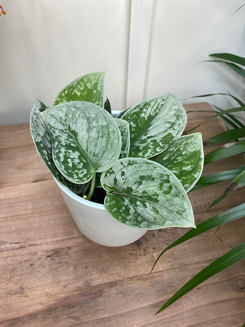 Scindapsus Pictus Silvery Ann The Ginger jungle the online houseplant shop London
