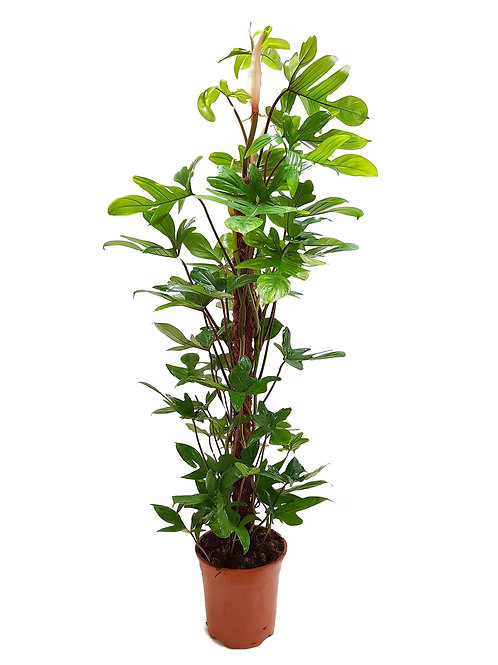 Philodendron pedatum The Ginger Jungle the online houseplant shop