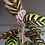 Calathea makoyana Pet Safe houseplants UK The Ginger Jungle