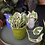 Scindapsus Aureus N Joy The Ginger Jungle easy houseplants online