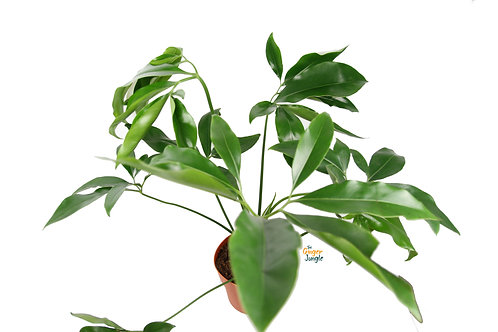 Philodendron goeldii The Ginger Jungle the online rare plant shop  UK