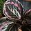 Calathea roseopicta Surprise Star The Ginger Jungle Pet safe houseplants UK