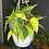 Philodendron brasil The Ginger Jungle easy indoor plants UK