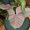 Syngonium neon robusta uk The Ginger Jungle the online houseplant shop
