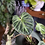 Philodendron verrucosum 'incensi' uk The Ginger jungle rare aroids UK