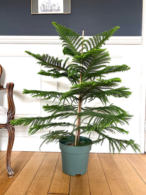 Araucaria heterophylla 'Norfolk Island Pine' The Ginger jungle the online houseplant shop