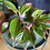 Aglaonema creta UK The Ginger Jungle air purifying houseplants