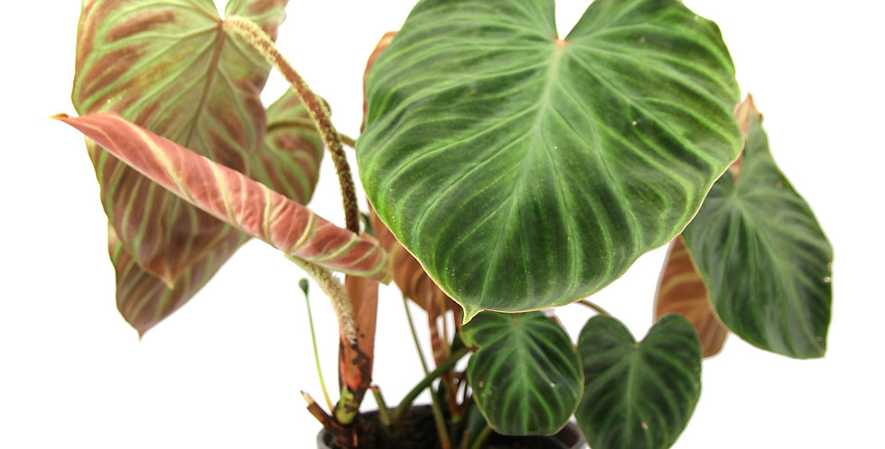 Philodendron verrucosum UK The ginger Jungle the online rare plant shop