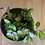 Hoya australis lisa - The Ginger Jungle the online houseplant shop