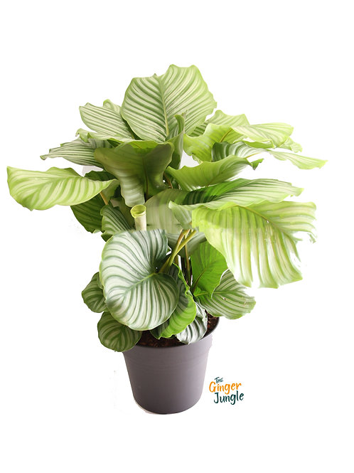 Calathea orbifolia - large The Ginger Jungle the online houseplant