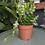Fishbone cactus - Epiphyllum anguliger UK The Ginger Jungle The online houseplant shop