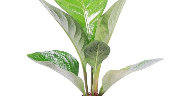 Anthurium king lovely green - Medium