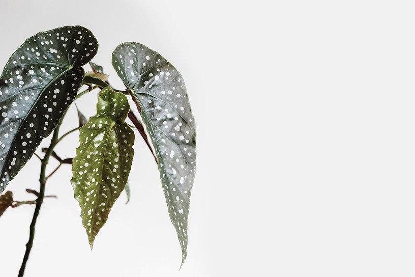 Begonia Maculata Wightii, Polka Dot Bego