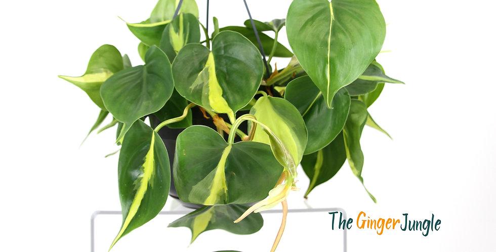 Philodendron scandens brasil - Hanging pot