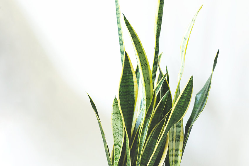 Sansevieria The Ginger Jungle