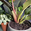 Thumbnail: Philodendron 'imperial red'