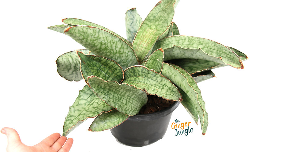 Sansevieria Kirkii Silver Blue The Ginger Jungle the rare online plant shop UK