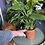 Alocasia Cucullata UK The Ginger Jungle the online houseplant shop
