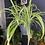 Thumbnail: Spider Plant -Chlorophytum 'Vittatum'